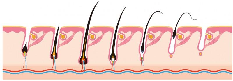 Fases-crecimiento-pelo-1